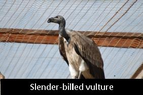 Slender  Vultures