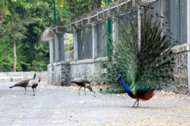 Beautiful Peacocks at Raj Bhavan, Mumbai